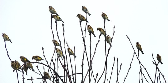 Goldfinches in my old garden 2012