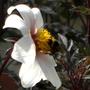 A bee at work in Apple Court Garden
