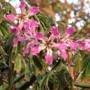 Silk Floss tree in flower. (Chorisia speciosa (Floss Silk Tree))