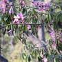 In the shade blooms.. (Chorisia speciosa (Floss Silk Tree))