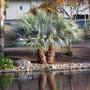 Brahea armata in sun. (Brahea armata (Blue Hesper Palm))