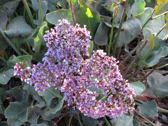 Statice. (Limonium perezii (Sea Lavender Atlantis))