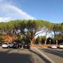 Italian Pines (Pinus  pinea)