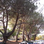As I looked back... (Pinus pinea (Stone pine))