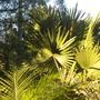 Bismarckia nobilis 'Green Form' - Green Bismarck Palm (Bismarckia nobilis 'Green Form' - Green Bismarck Palm)