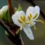 Lonicera_fragrantissima_.nov_2015