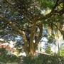 Branches of the Delonix Regia tree