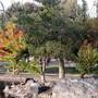 Chorisia speciosa (Floss Silk Tree)