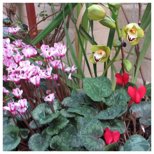 In the conservatory  (Cyclamen)