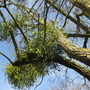 Mistletoe for Andrew (Viscum album (Mistletoe))