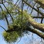 Mistletoe for Andrew (Viscum album (Mistletoe))