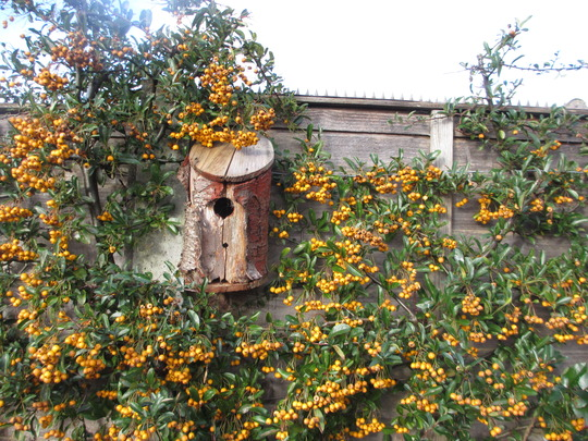 Another use of logs (for Simbad) (Pyracantha angustifolia (Fire Thorn))