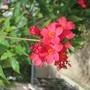 Jatropha integerrima (peregrina) (Jatropha integerrima)