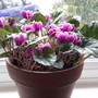 Cyclamen purpurascens Colchicum. 27 Nov.
