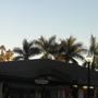 Roystonea regia - Royal Palms at San Diego Zoo (Roystonea regia - Royal Palm)