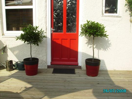 My bargain standard Bay Trees.