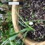 Galanthus Reginea Olgae