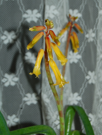 Lachenalia aloides (Lachenalia aloides)