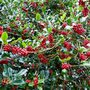 Holly Berries  ....   Plenty on my trees this year ..