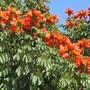 Spathodea campanulata / african tulip tree (Spathodea campanulata)