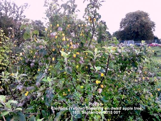 Plot 58 Clematis Yellow flowering on dwarf apple tree 18-09-2015 001 (Clematis tangutica (Clematis))