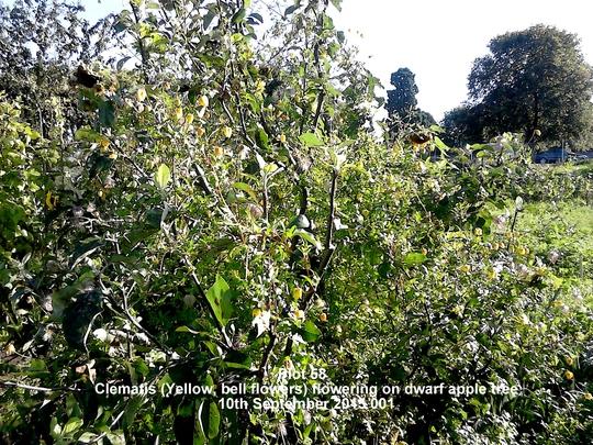 Plot 58 Clematis Yellow bell flowers flowering on dwarf apple tree 10-09-2015 001 (Clematis tangutica (Clematis))