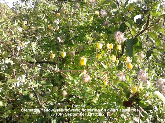 Plot 58 Clematis flowering on dwarf apple tree 10-09-2015 002 (Clematis tangutica (Clematis))