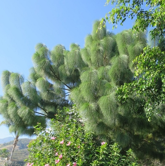 Lovely long needle pine (Pinus patula)