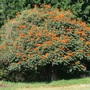 another picture of African Tulip tree (Spathodea)