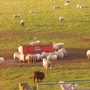 neighbours sheep enjoy a bit of sun