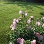 Pink Hibiscus (Hibiscus moscheutos (Giant Mallow Marvels))