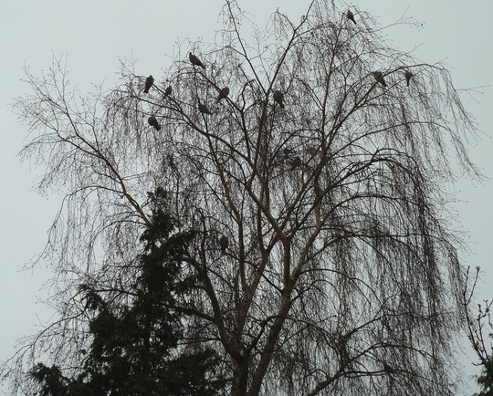 Dark December ...            Twelve pigeons perching ...