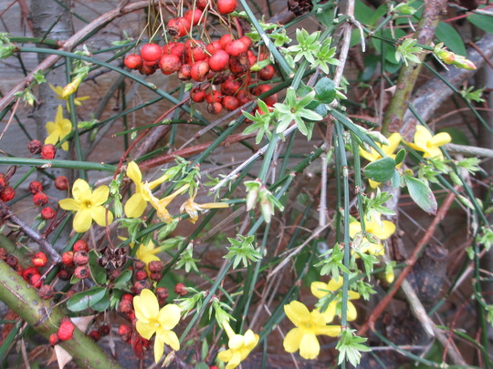 True Winter Flowering (Jasminum nudiflorum (Winter jasmine))