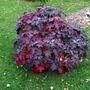 Hydrangea quercifolia 'Burgundy' (Hydrangea quercifolia (Oak-leaved hydrangea))