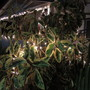 Merry Ficusmas. (Ficus elastica (Assam Rubber))