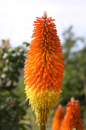 Kniphofia uvaria (Red Hot Poker) close-up (Kniphofia uvaria (Red Hot Poker))