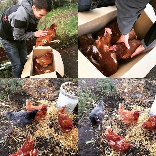 new chickens finally arrive