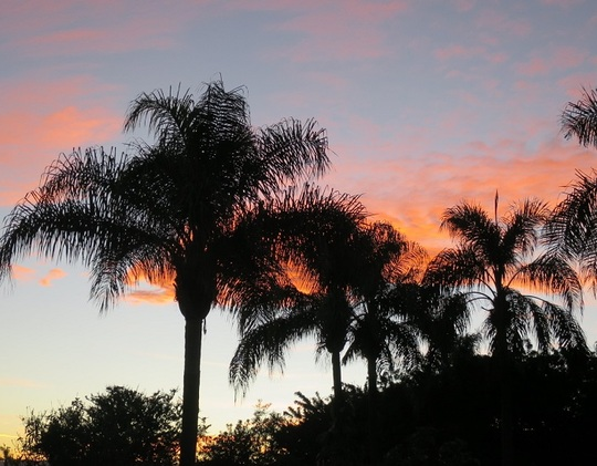 Palms (Queen??) in sunset