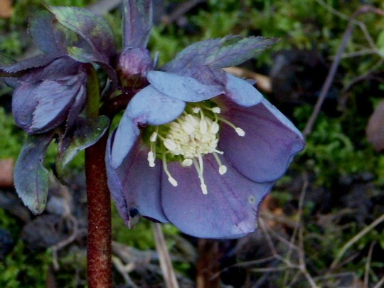 Helleborus ... Queen of Spades  ...