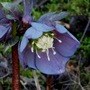 Helleborus_.queen_of_spades_..