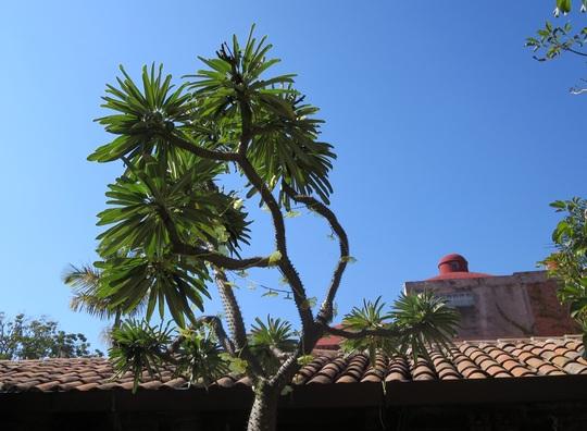 the Madagascar palm (Pachypodium lamerei)  (Pachypodium lamerei)