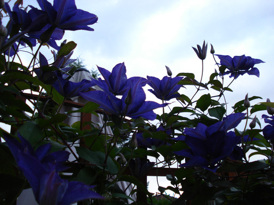 Clematis July