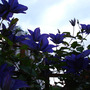 Clematis_july