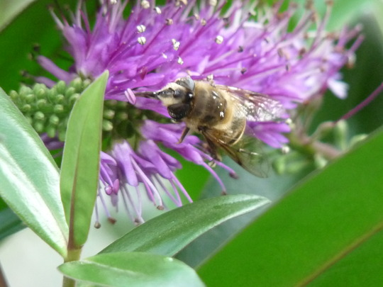 For Gnarly - Face of the Hoverfly/Bee