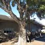 Cork Oak. (Quercus suber (Cork Oak))