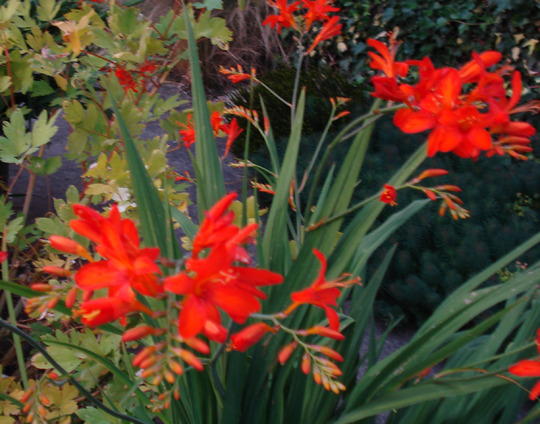 Crocosmia Emberglow July