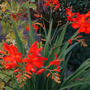 Croscosmia_emberglow_july