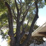 Nice patttern to Cork Oaks. (Quercus suber (Cork Oak))