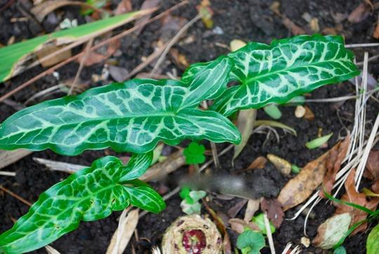 Arum Italicum (Arum italicum (Lords and ladies))