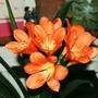 Clivea miniata (Clivia miniata (Clivia))